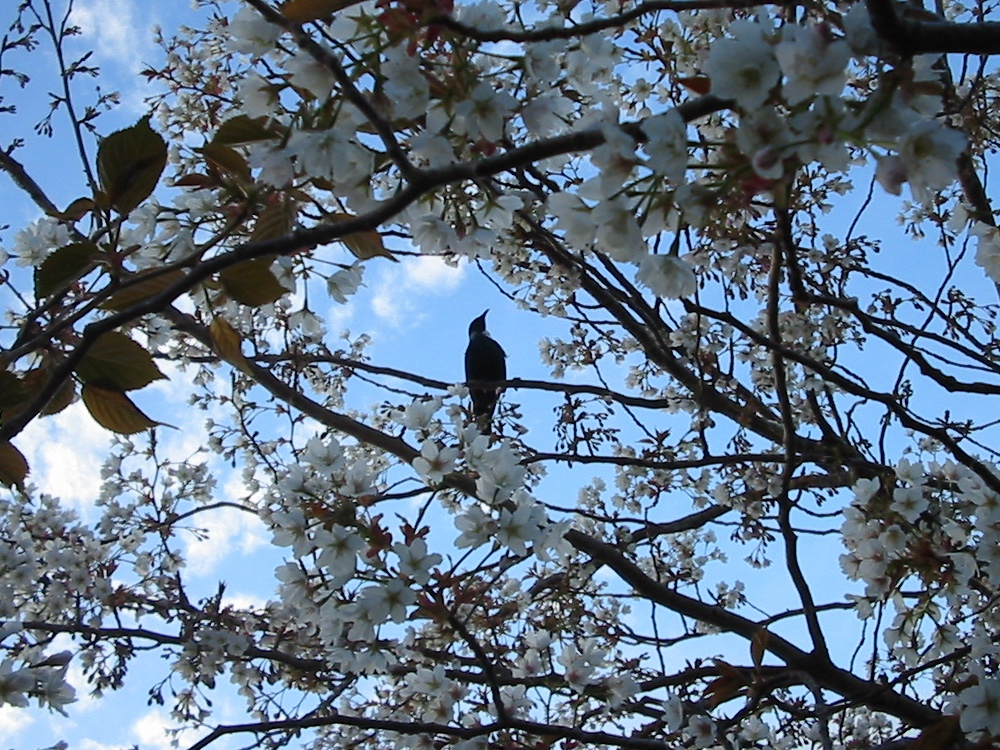 Tui in the cherry tree. I need a better digital camera.