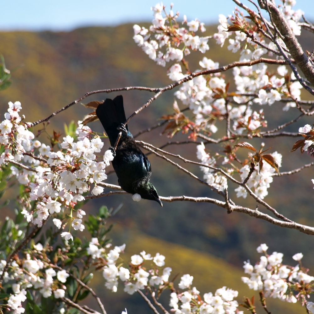 always good to watch: a tui in the cherry tree