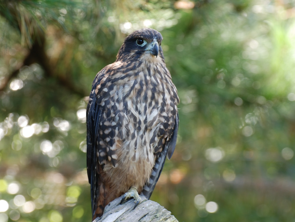 New Zealand Falcon, the Kārearea. Picture Credit: Andrew MacMillan, via Wikimedia Commons.