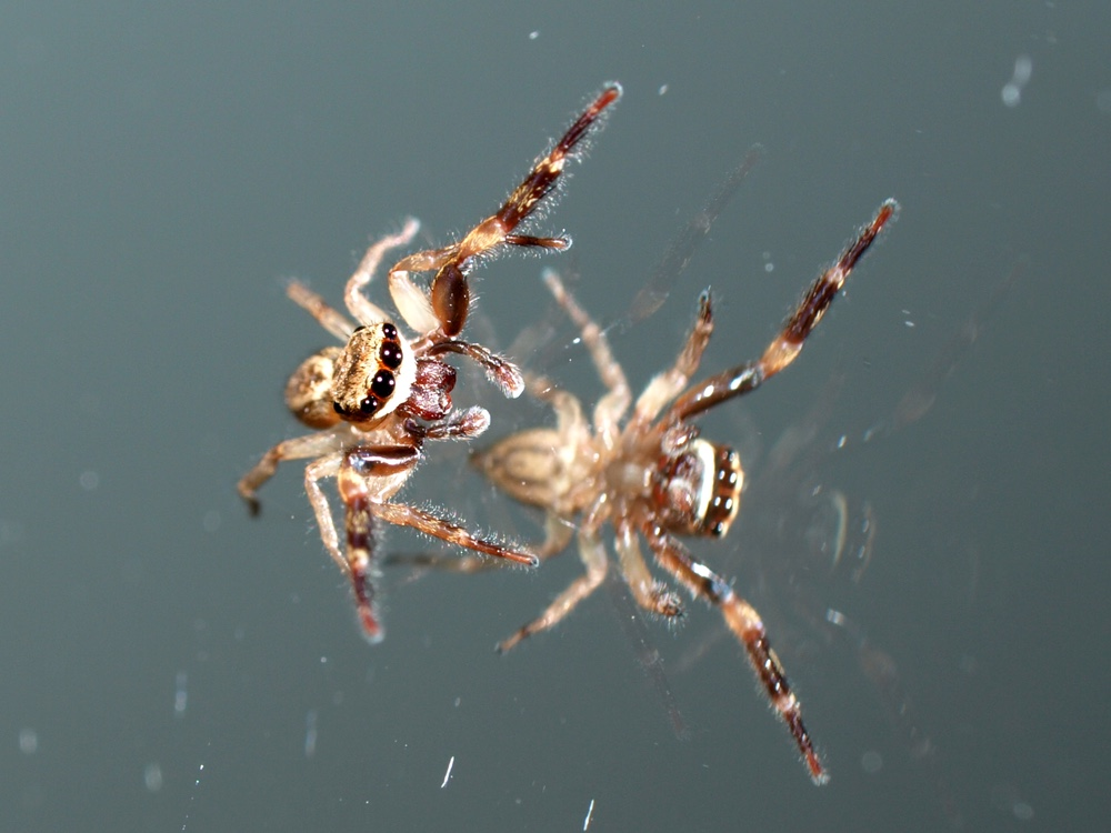 Mirror + Jumping Spider (1)