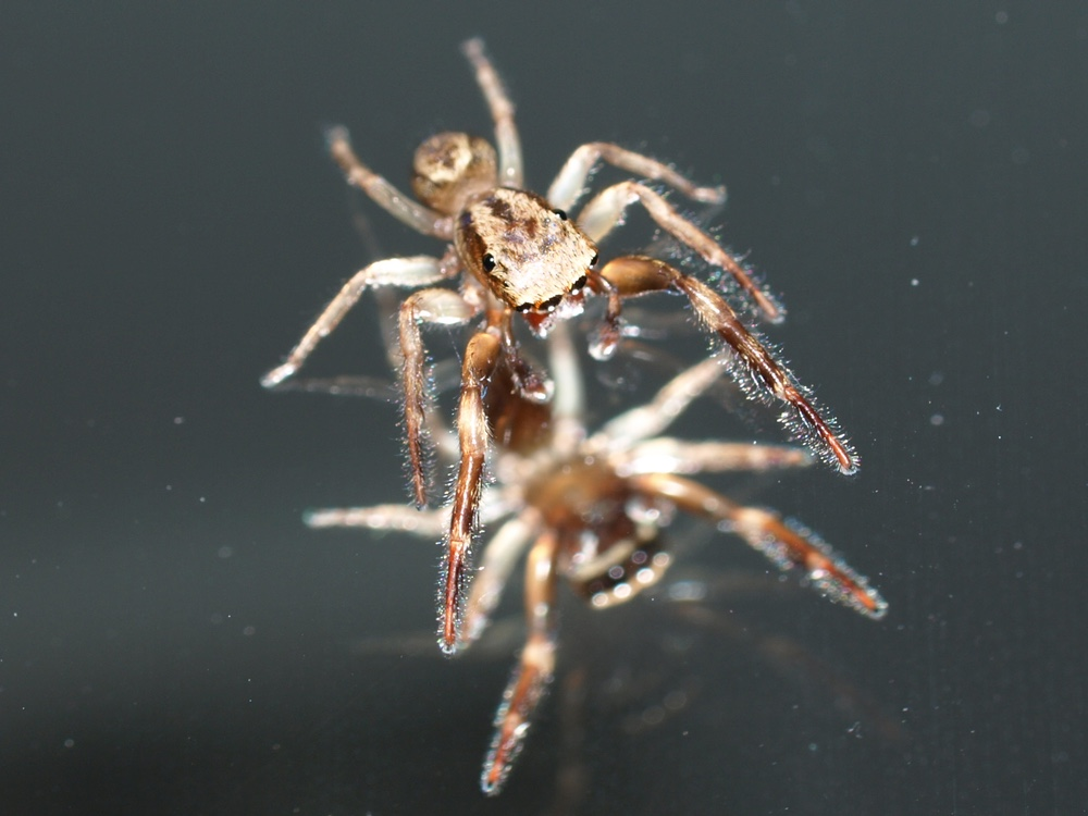 Mirror + Jumping Spider (2)