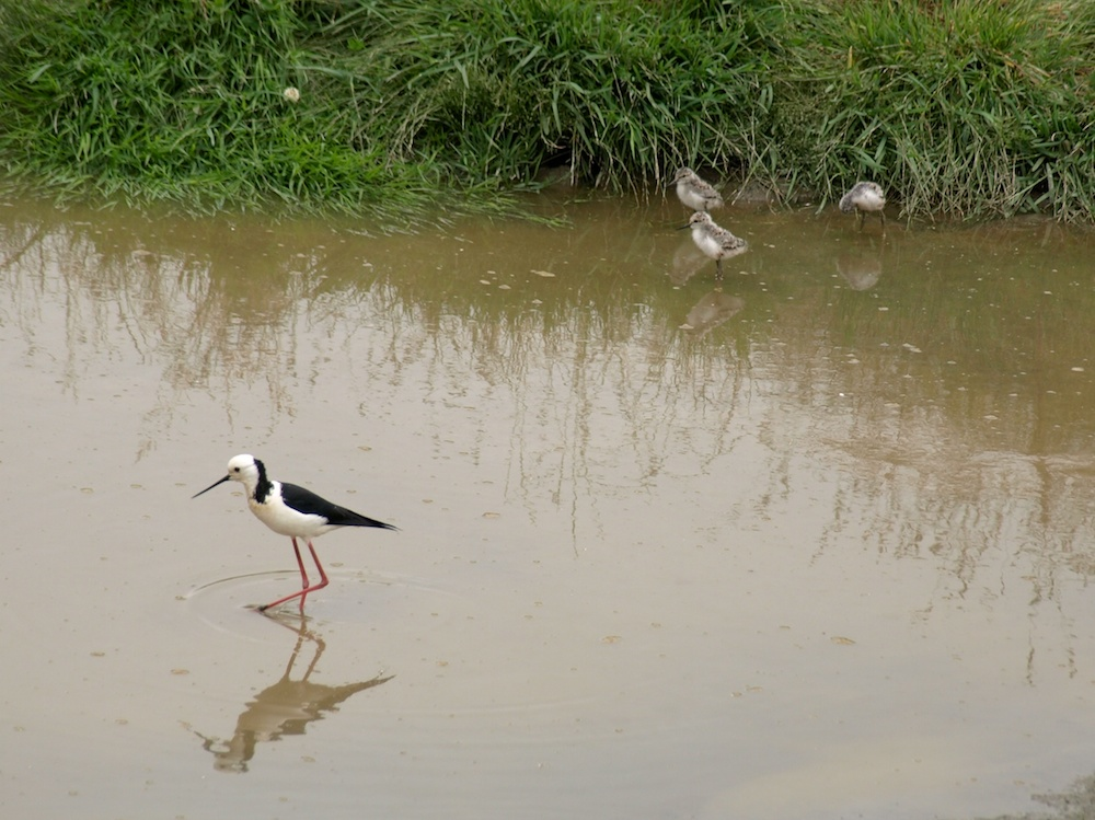 Pied Stilt and family; December 2011