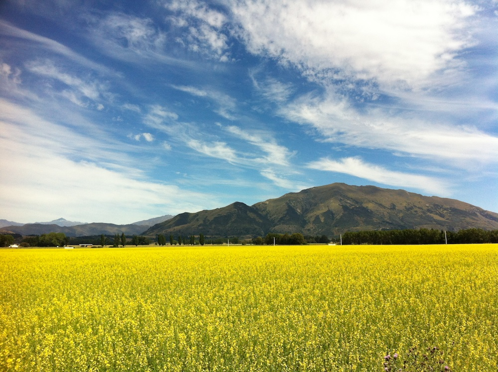 Rapeseed (a.k.a. Canola) in flower, Hawea Flat; December 2011