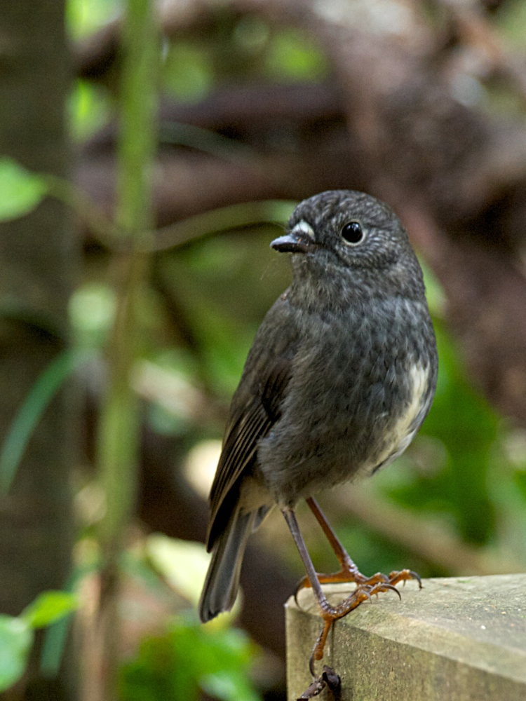 A North Island Robin, at Zealandia; May 2012