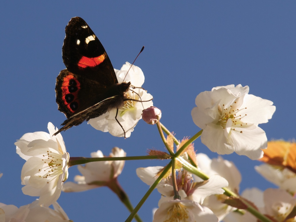 Red Admiral on Cherry Blossom