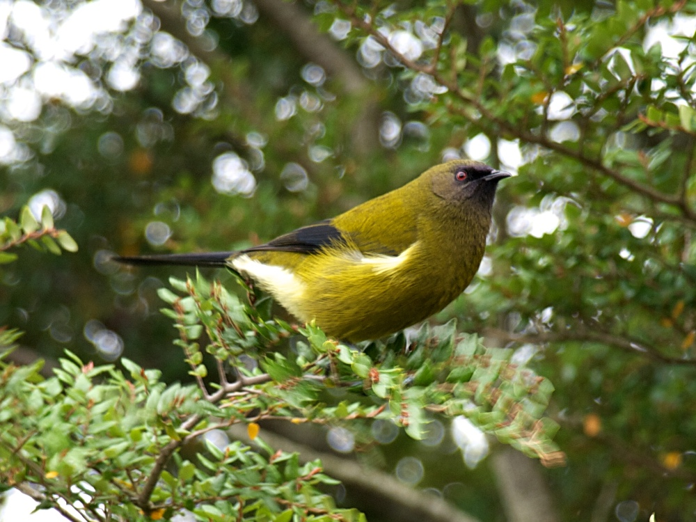 Bellbird in a beech tree, Central Otago, April 2011