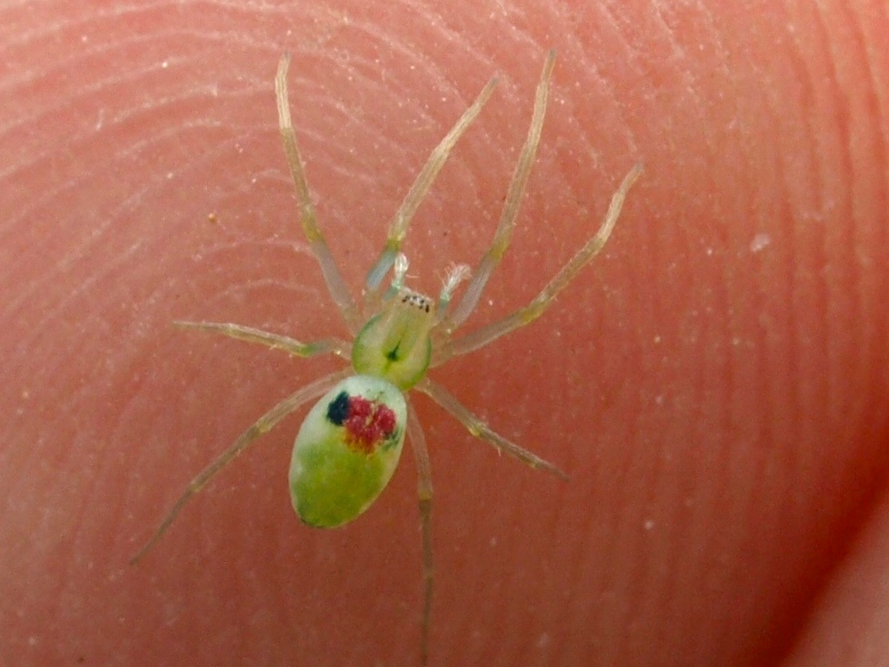 Paradictyna spider