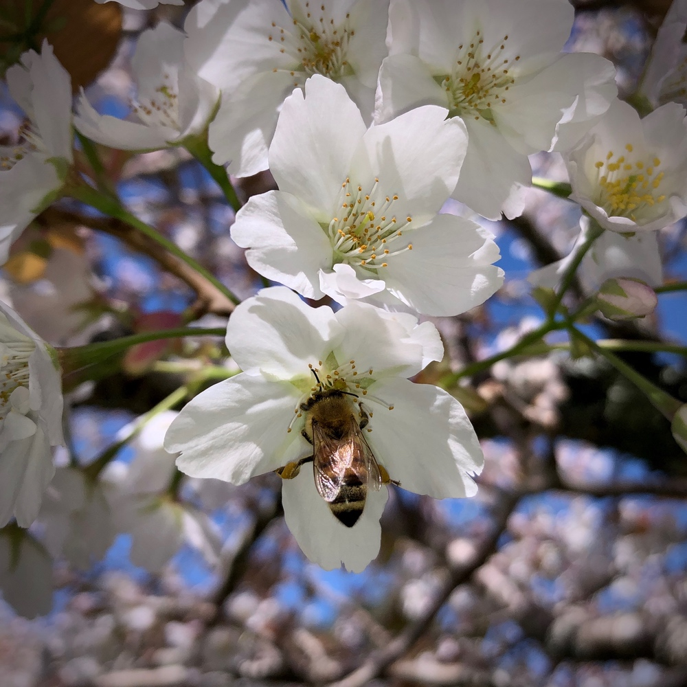 a bee visits a cherry blossom
